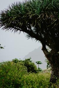 Crone of dragon Tree on Santo Antao, Cape Verde Cabo Verde