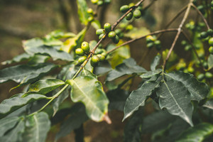 Cultivated coffe plantage. Branch with green coffee beans and foliage. Santo Antao Island, Cape Verde