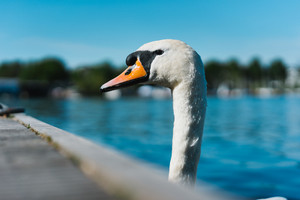 Curious head of a swan coming up behind the pier at Alster Lake in Hamburg, Germany