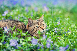 Cute cat lying on the periwinkle lawn with flower on the head
