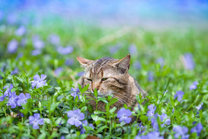 Cute cat lying on the periwinkle lawn.