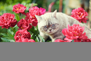 Cute cat with peony flowers relaxing outdoor in a garden in summer