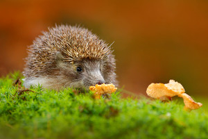 Cute European Hedgehog, Erinaceus europaeus, eating orange mushroom in the green moss. Funny image from nature. Wildlife forest wint European Hedgehog. Nature in Czech Rep. Autumn colours with animal.