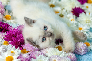 Cute little color point kitten lying on flowers