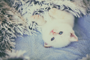 cute little kitten, covered with a fluffy blanket