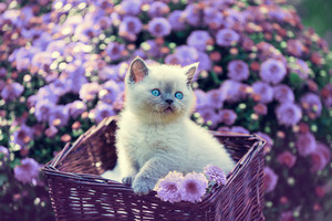 Cute little kitten in a basket in a garden near violet chrysanthemum flowers