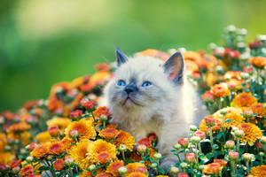 Cute little kitten in orange chrysanthemum flowers