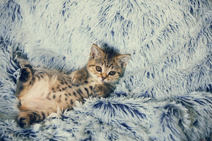 Cute little kitten lying on the back the soft fir blue blanket