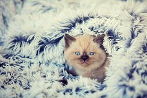 Cute little kitten lying on the soft fluffy blue blanket.