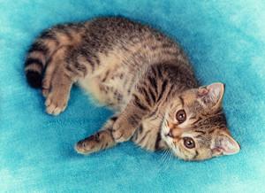 Cute little kitten lying the soft fir blue blanket