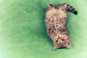 Cute little kitten lying upside down on the back the soft fluffy green blanket