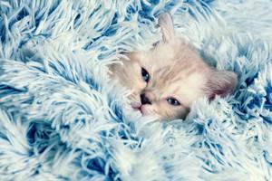 Cute little kitten peeking out from under the soft fir blue blanket