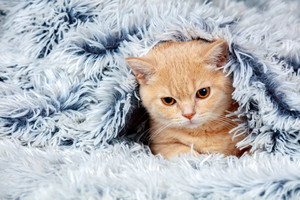 Cute little red kitten peeking out from under the soft warm blue blanket