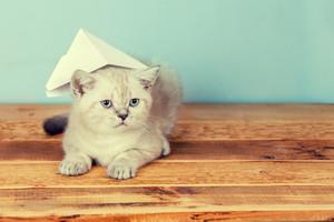 Cute little semese kitten wearing paper hat
