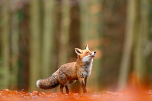 Cute Red Fox, Vulpes vulpes, fall forest. Beautiful animal in the nature habitat. Orange fox, detail portrait, Czech. Wildlife scene from the wild nature. Red fox running in orange autumn leaves.