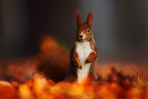 Cute red squirrel with long pointed ears eats a nut in autumn orange scene with nice deciduous forest in the background, hidden in the leaves. Squirrel with big tail Squirrel  in the habitat, Germany