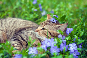 Cute siberian cat lying on the periwinkle lawn with flower on the head.