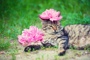 Cute siberian cat with peony flower on a head lying outdoor in a grass in summer