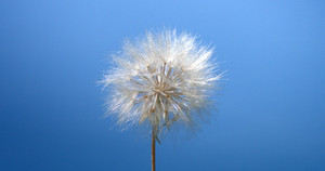 Dandelion blowing by wind in deep blue sky background