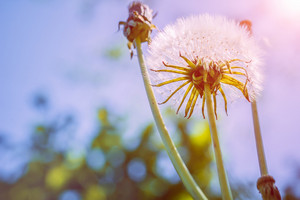 Dandelion flower with sunlight - Freedom to Wish
