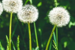 Dandelion flower with sunlight - Freedom to Wish