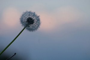Dandelion on sky background in evening. Nature
