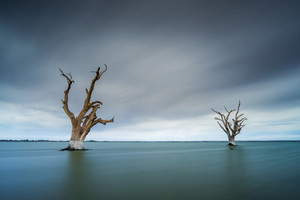 Dead Trees in Lake Bonney, South Australia