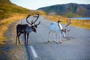 Deer walking along the road