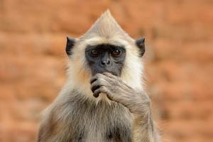 Detail of Sri Lanka monkey. Common Langur, Semnopithecus entellus, detail portrait of monkey, nature habitat, Sri Lanka. Close-up photo of langur. Wildlife Sri Lanka. Meditative animal, open muzzle.