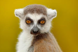 Detail portrait of cute monkey. Portrait of Ring-tailed Lemur, Lemur catta, with yellow clear background. Animal from Madagascar, Africa. Close-up photo of monkey.