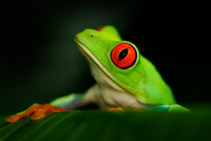 Detail portrait of frog with red eyes. Red-eyed Tree Frog, Agalychnis callidryas, in the nature habitat, Panama. Beautiful frog sitting on the green leave. Rare amphibian from tropic forest.