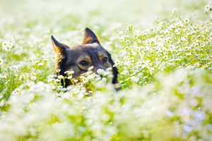 Dog hiding in the flower meadow