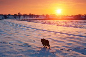 Dog walking in the snowy field in winter at sunset