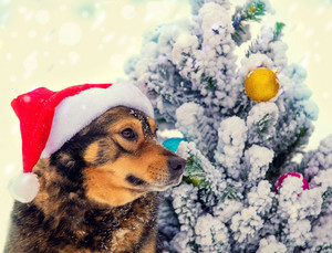 Dog wearing Santa hat outdoor near fir tree. Christmas concept