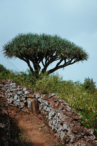 Dragon Tree near hike route on Santo Antao, Cape Verde Cabo Verde