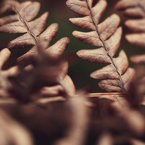 Dry brown autumn fern macro