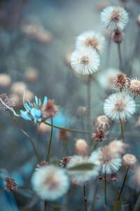 dry flowers dandelion