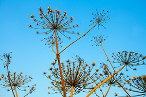 Dry hogweed plant against clear sky