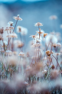 dry wild meadow plants flowers. Nature outdoor photo with cold blue mystery colours