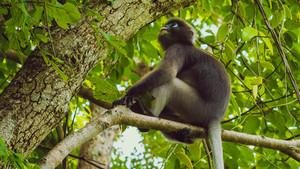 Dusky leaf monkey, Langur in forest