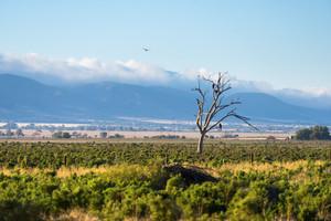 Eagles in the Flinders Ranges, South Australia