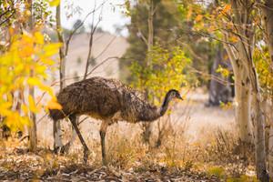 Emu in the Flinders Ranges, South Australia