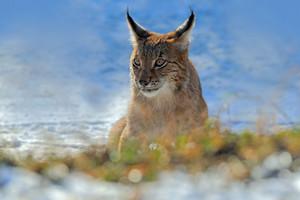 Eurasian Lynx, portrait of on snow in winter