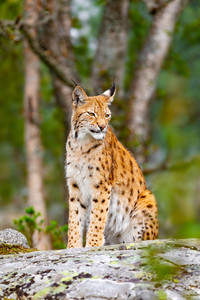 Eurasian lynx sitting on a rock in forest at summer