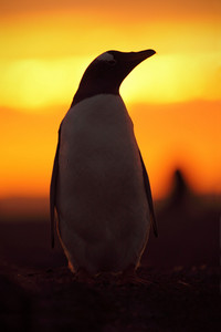 Evening penguin scene in the orange sunset. Beautiful gentoo penguin with sun light. Penguin with evening light. Open penguin bill. Young with adult. Penguins in the nature. Antarctica