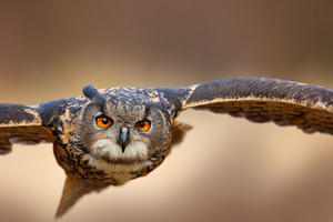 Face flying bird with open wings in grass meadow, face to face detail attack fly portrait, orange forest in the background, Eurasian Eagle Owl, Bubo bubo, animal with big eyes, nature habitat, Norway.