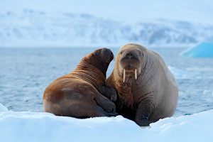 Family on cold ice. Walrus, Odobenus rosmarus, stick out from blue water on white ice with snow, Svalbard, Norway. Mother with cub. Young walrus with female. Winter Arctic landscape with big animal.