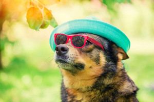 Fashion portrait of a dog wearing summer hat and sunglasses sitting outdoor in the park