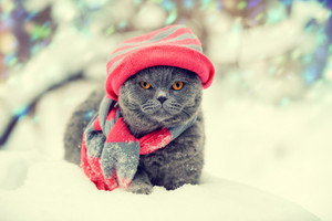 Fashion portrait of cat wearing knitting hat and scarf in snowy winter