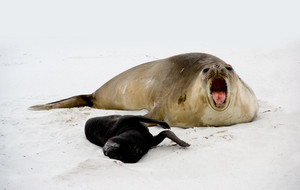 Female Elephant Seal roars